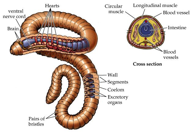 ProtostomesOligochaeta Anatomy