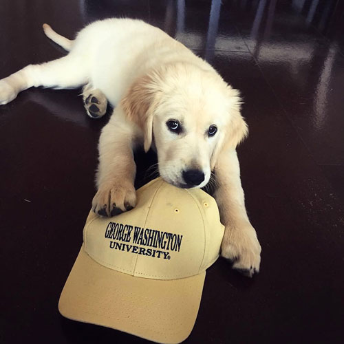 A dog sitting with a GW hat
