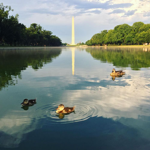 Ducks swimming the Reflecting Pool in view of the Washington Monument